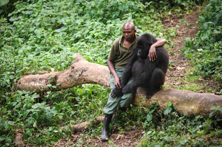 El peligro de proteger gorilas en el Congo