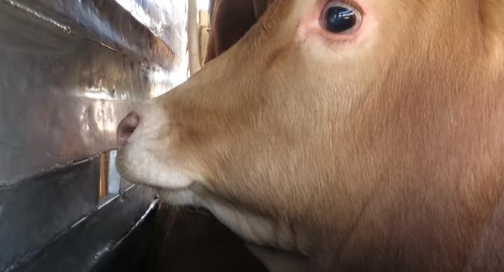 Absurdes System Tiertransporte: Österreich importierte und exportierte 2019 jeweils über 20 Millionen lebende Nutztiere