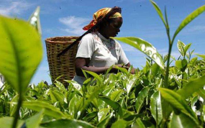 La multinazionale britannica Camellia dovrà risarcire lavoratrici di Kenya e Malawi