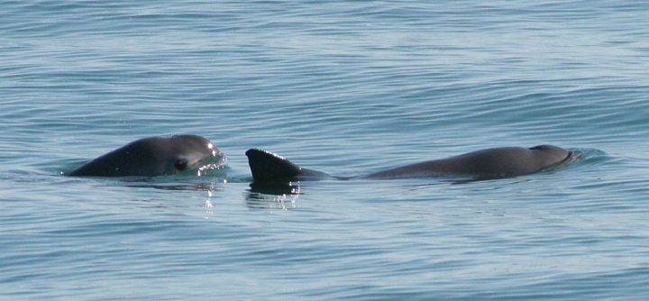 Vaquita: a disappearing porpoise