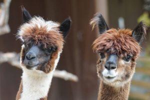 Anticuerpos de alpacas para el COVID: la negligencia del Gobierno
