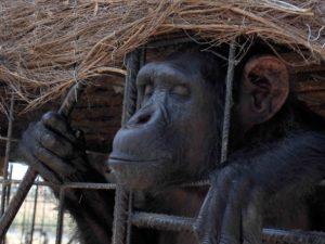 Ley para los derechos de los grandes simios