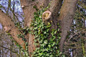 """La funzione ecologica dell'edera, una pianta """"perseguitata"""""""