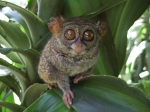 2021 IUCN Report Says Pygmy Tarsiers (Once Believed Extinct) Are Decreasing in Number