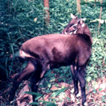 Love for Living Animals: The Polite and Serene Saola