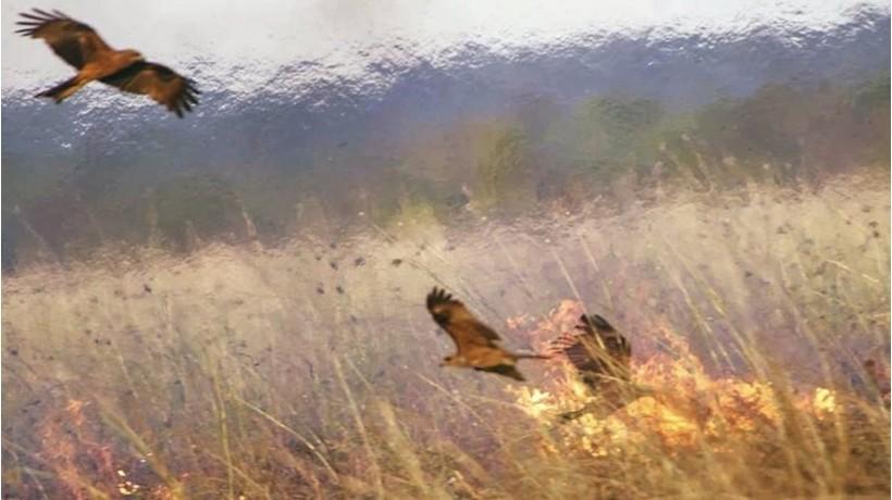 L'oiseau de feu pyromane