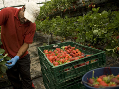 Seasonal workers harvesting fruits in a greenhouse