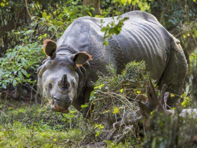 One-eyed, one- horned rhino in Kaziranga National Park, Assam. Wikimedia commons.