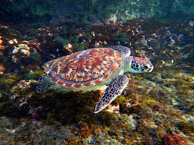 Hawksbill Sea Turtle (Eretmochelys imbricata) in Lagún, Curaçao. Wikimedia Commons.