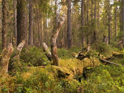 Old coarse woody debris in an old-growth spruce forest at an interfluve of Northern Dvina and Pinega rivers. Dvinsky Intact Forest Landscape, Arkhangelsk region.